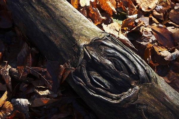 The guts of a fallen tree