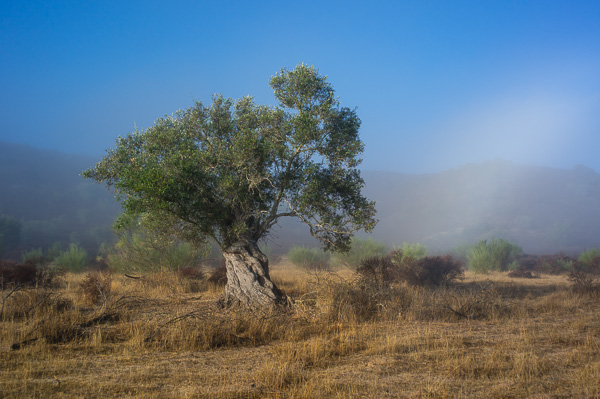 Old olive tree at the Guadiana river at the Spanish border